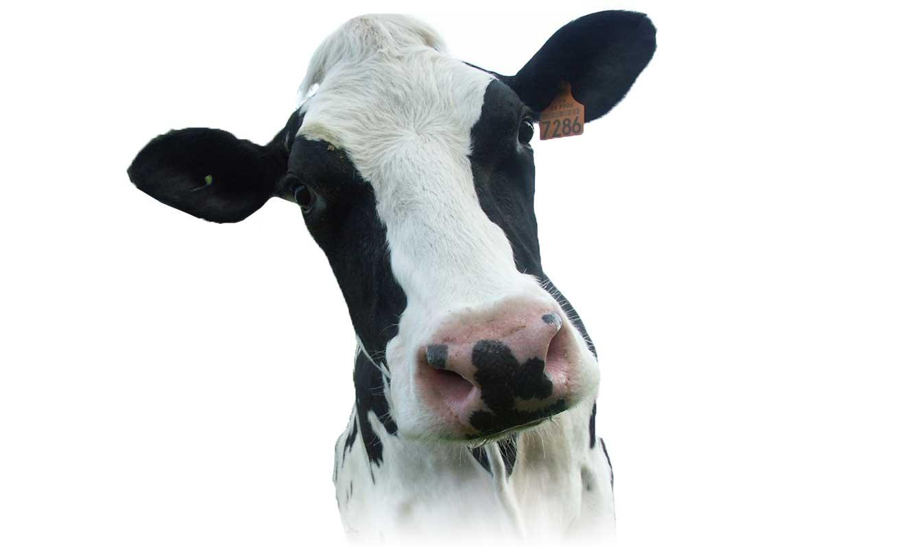 Geconjugeerd-linolzuur-(CLA)-herkauwers-koe-vlees-kaas-zuivelproducten